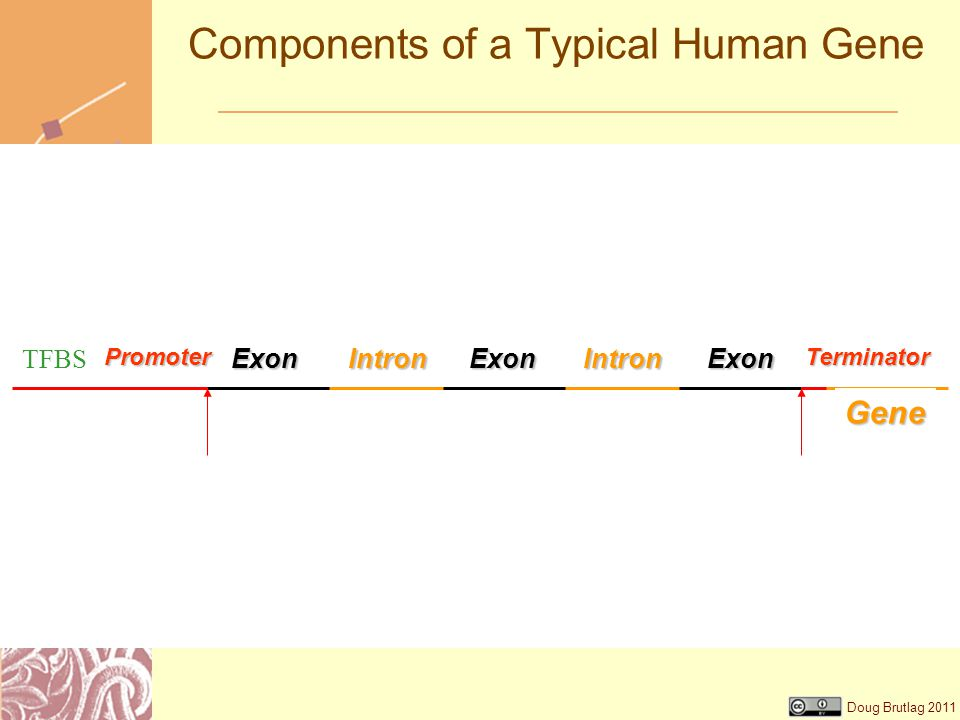 Doug Brutlag 2011 Components of a Typical Human GeneGene IntronIntronExonExonExonPromoterTerminator TFBS