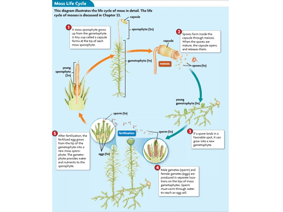 Moss Life Cycle Ppt Video Online Download