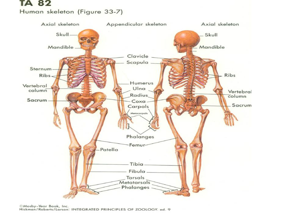 skeletal system organs and structures