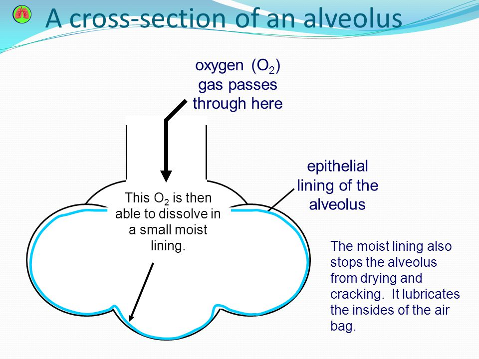 43 Exchange Of Gases In The Lungs Learning Outcomes Students