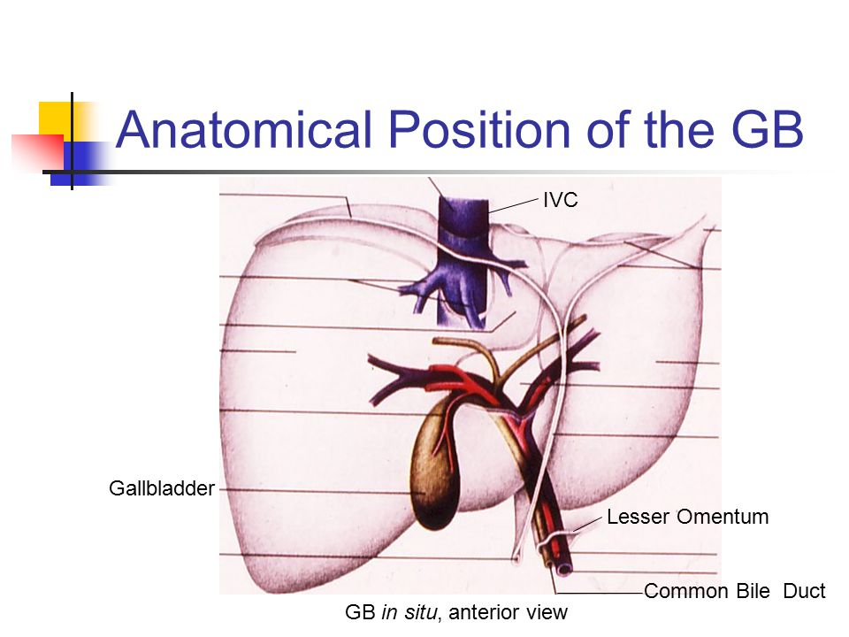 Anatomical Position of the GB Gallbladder IVC Lesser Omentum Common Bile Duct GB in situ, anterior view