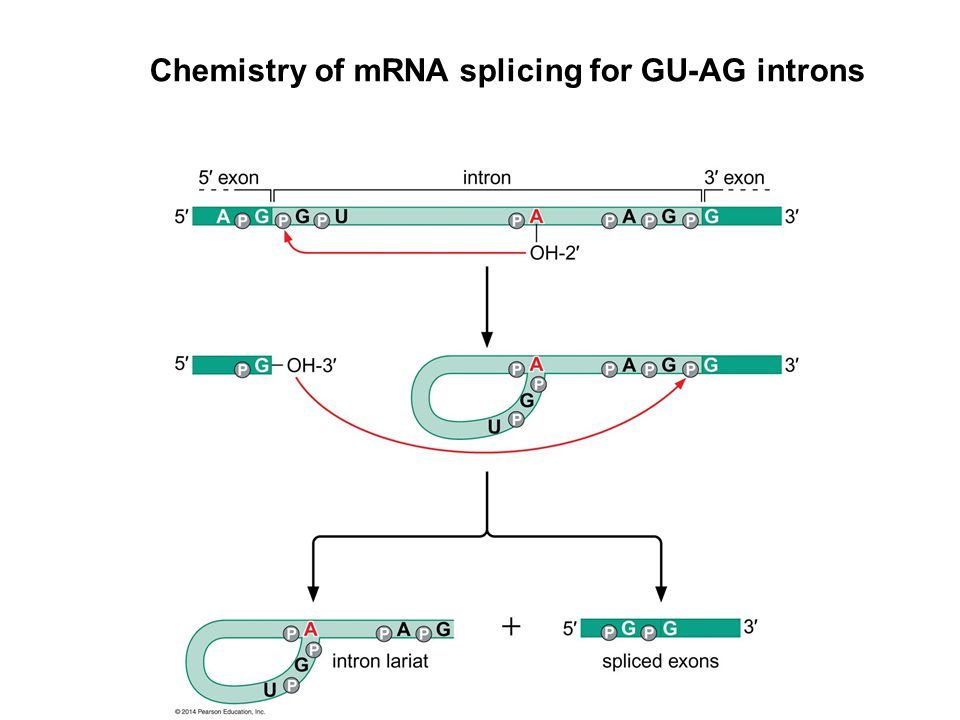Chemistry of mRNA splicing for GU-AG introns