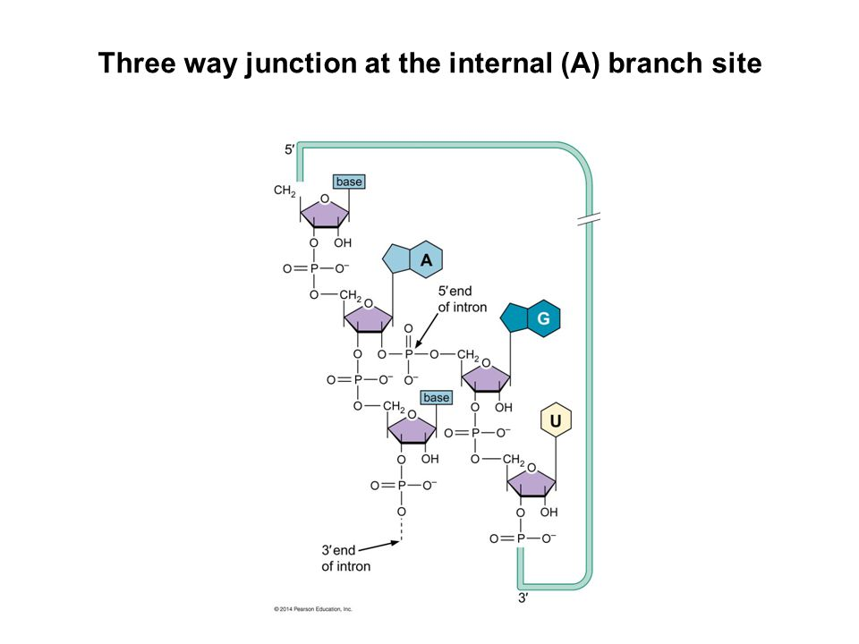 Three way junction at the internal (A) branch site