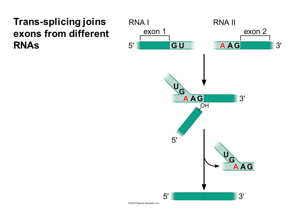 Trans-splicing joins exons from different RNAs