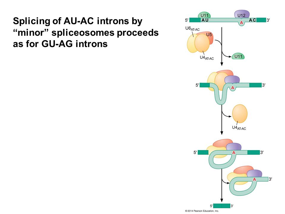 Splicing of AU-AC introns by minor spliceosomes proceeds as for GU-AG introns