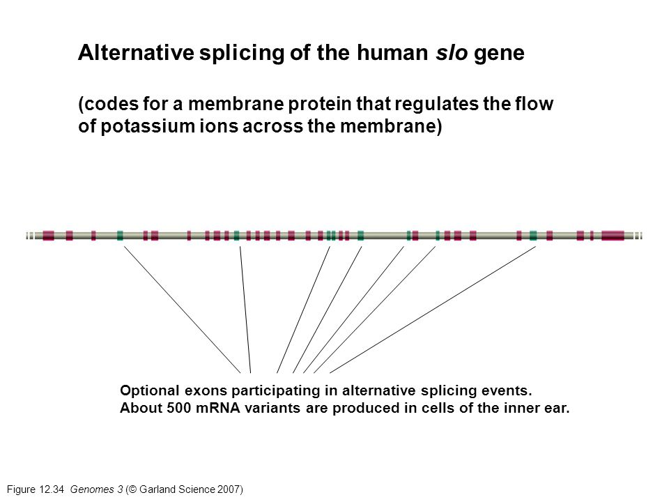Figure Genomes 3 (© Garland Science 2007) Alternative splicing of the human slo gene (codes for a membrane protein that regulates the flow of potassium ions across the membrane) Optional exons participating in alternative splicing events.