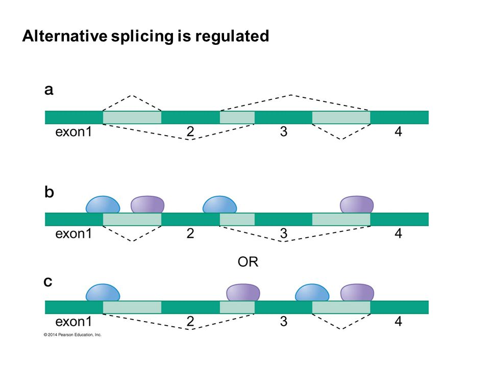 Alternative splicing is regulated