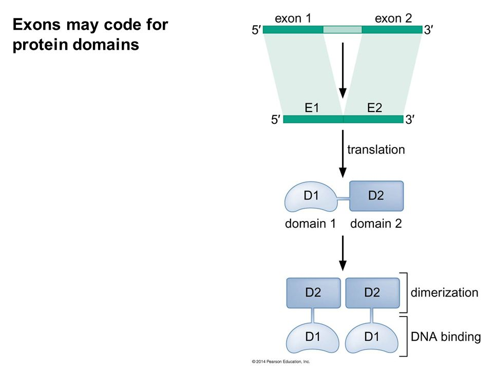 Exons may code for protein domains