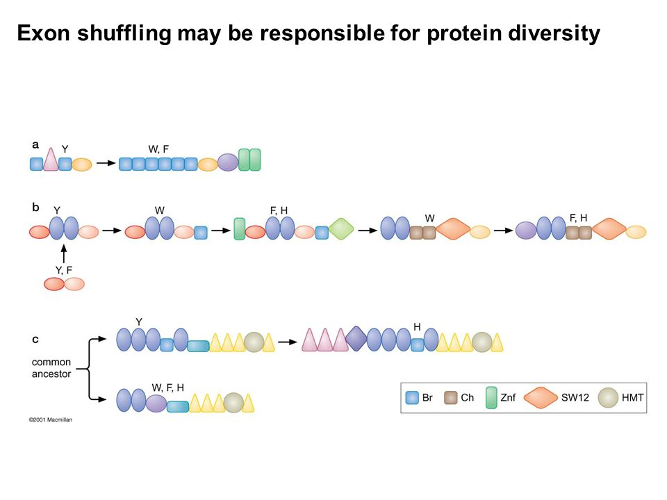 Exon shuffling may be responsible for protein diversity