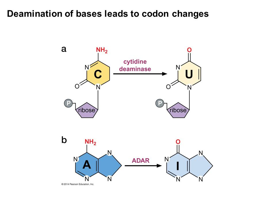 Deamination of bases leads to codon changes