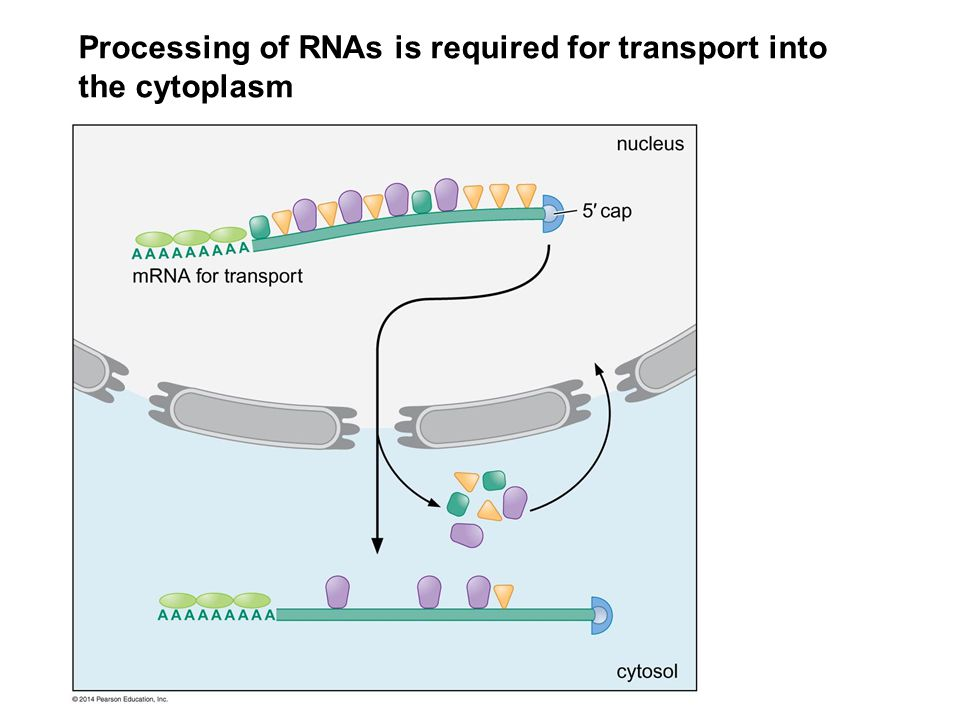 Processing of RNAs is required for transport into the cytoplasm