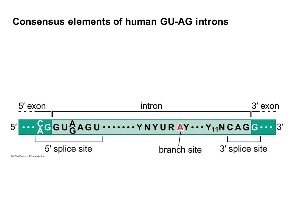 Consensus elements of human GU-AG introns