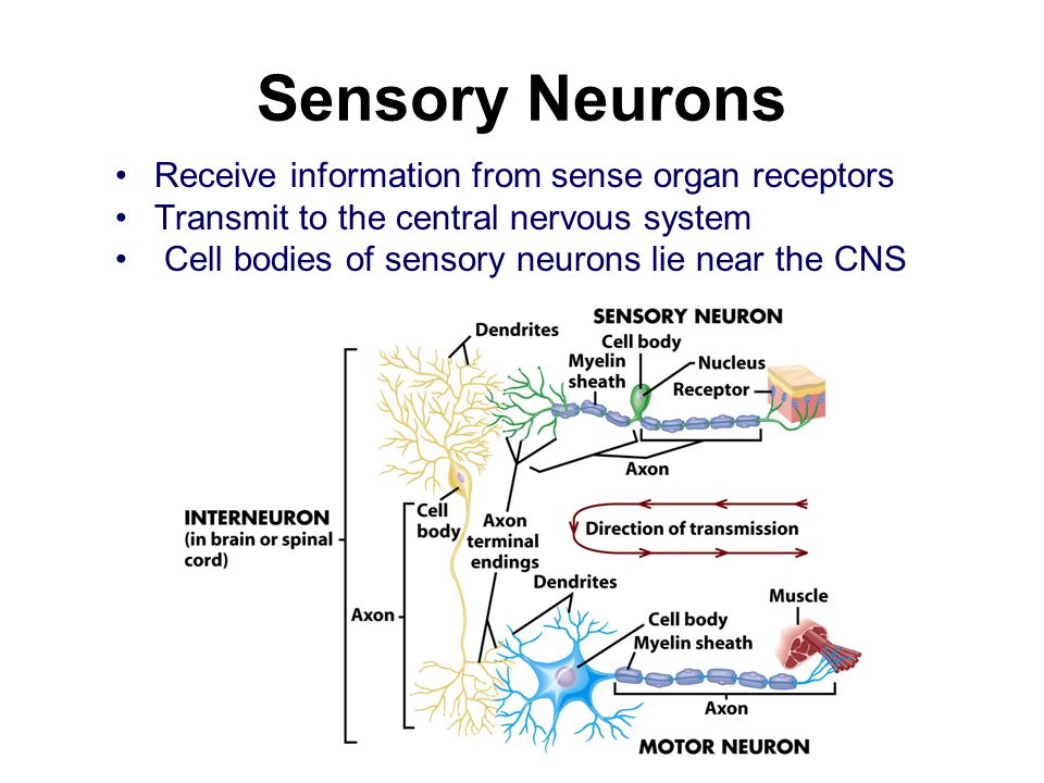 explain how neurons transmit information our Neurons are nerve cells they transmit information to another neuron by firing an action potential the action potential travels down the neuron's axon and is received by the next neuron's dendrites (this neural impulse speed is sped up by the myelin sheath, a later of insulating fatty tissue.