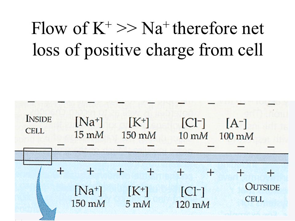 Flow of K + >> Na + therefore net loss of positive charge from cell