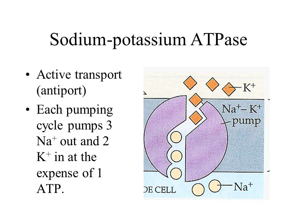 Active transport (antiport) Each pumping cycle pumps 3 Na + out and 2 K + in at the expense of 1 ATP.