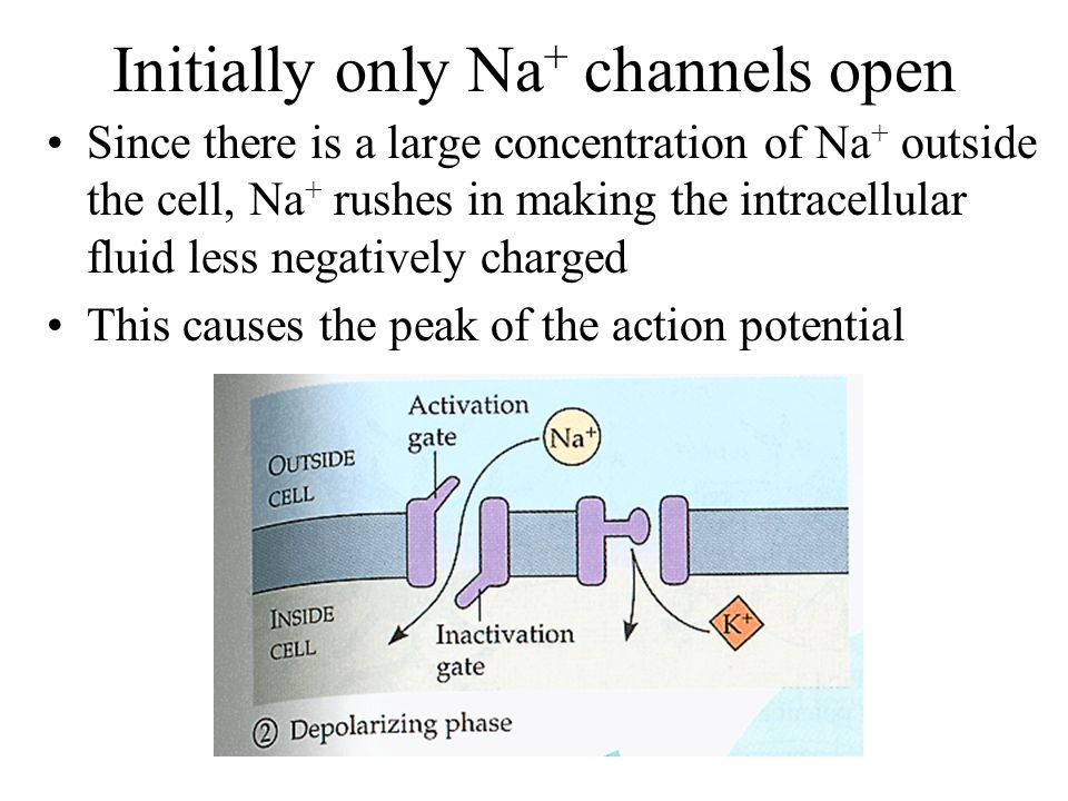 Initially only Na + channels open Since there is a large concentration of Na + outside the cell, Na + rushes in making the intracellular fluid less negatively charged This causes the peak of the action potential