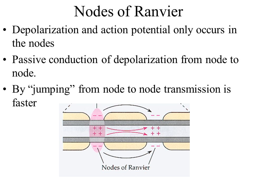 Nodes of Ranvier Depolarization and action potential only occurs in the nodes Passive conduction of depolarization from node to node.