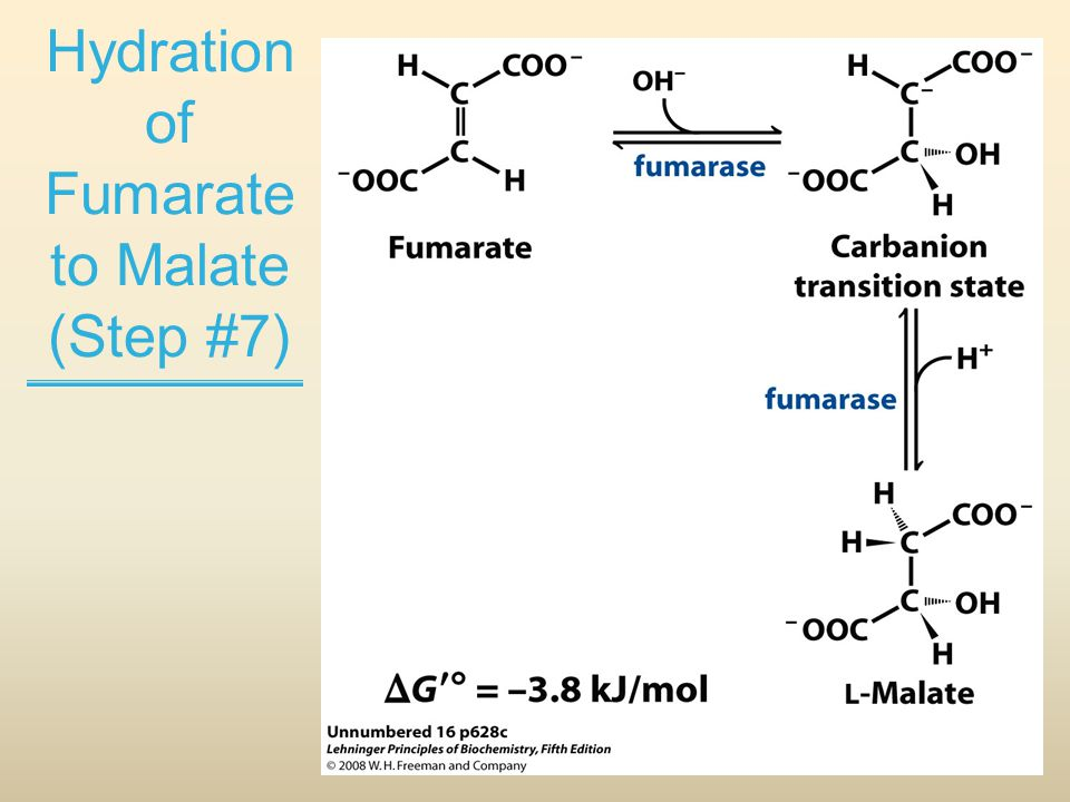 Hydration of Fumarate to Malate (Step #7)