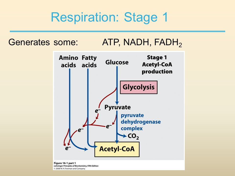 Respiration: Stage 1 Generates some:ATP, NADH, FADH 2
