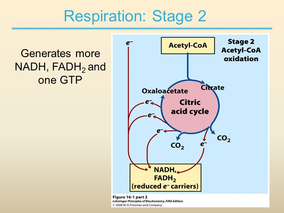 Respiration: Stage 2 Generates more NADH, FADH 2 and one GTP
