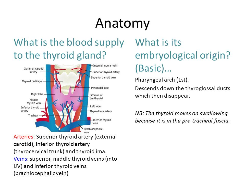 Thyroid Karina And Hope Anatomy What Is The Blood Supply To The