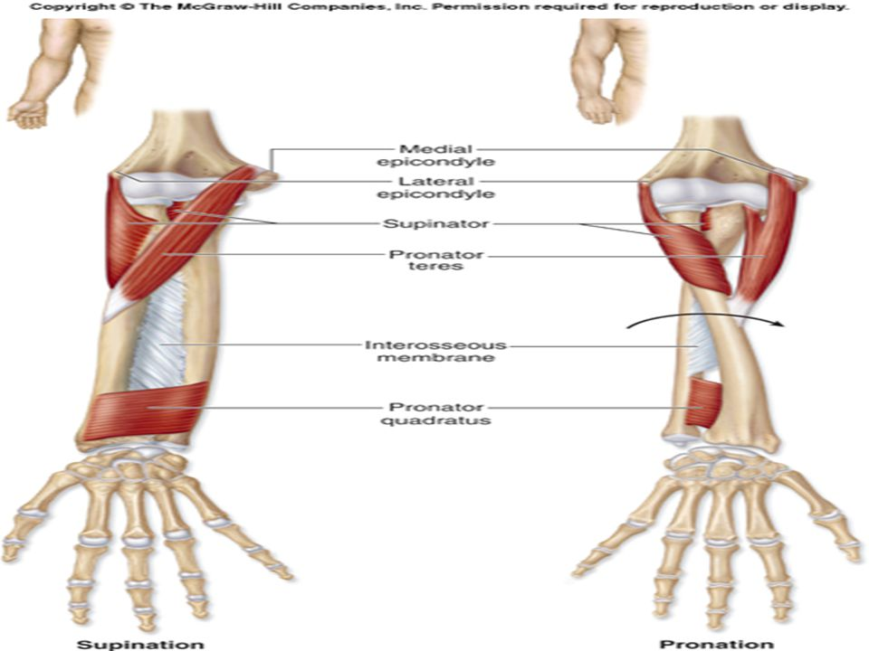 Forearm, Wrist and Hand. - ppt video online download