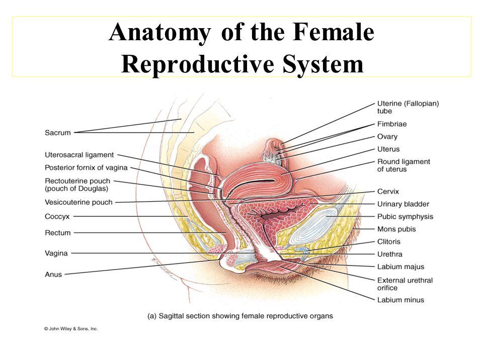 Bio& 242 A&P Unit 4 / Lecture 4. Anatomy of the Female Reproductive ...