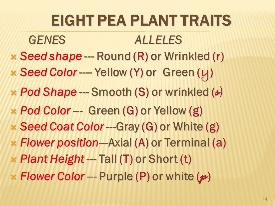EIGHT PEA PLANT TRAITS GENES ALLELES GENES ALLELES  Seed shape --- Round (R) or Wrinkled (r)  Seed Color ---- Yellow (Y) or Green ( y )  Pod Shape --- Smooth (S) or wrinkled ( s )  Pod Color --- Green (G) or Yellow (g)  Seed Coat Color ---Gray (G) or White (g)  Flower position---Axial (A) or Terminal (a)  Plant Height --- Tall (T) or Short (t)  Flower Color --- Purple (P) or white ( p ) 14