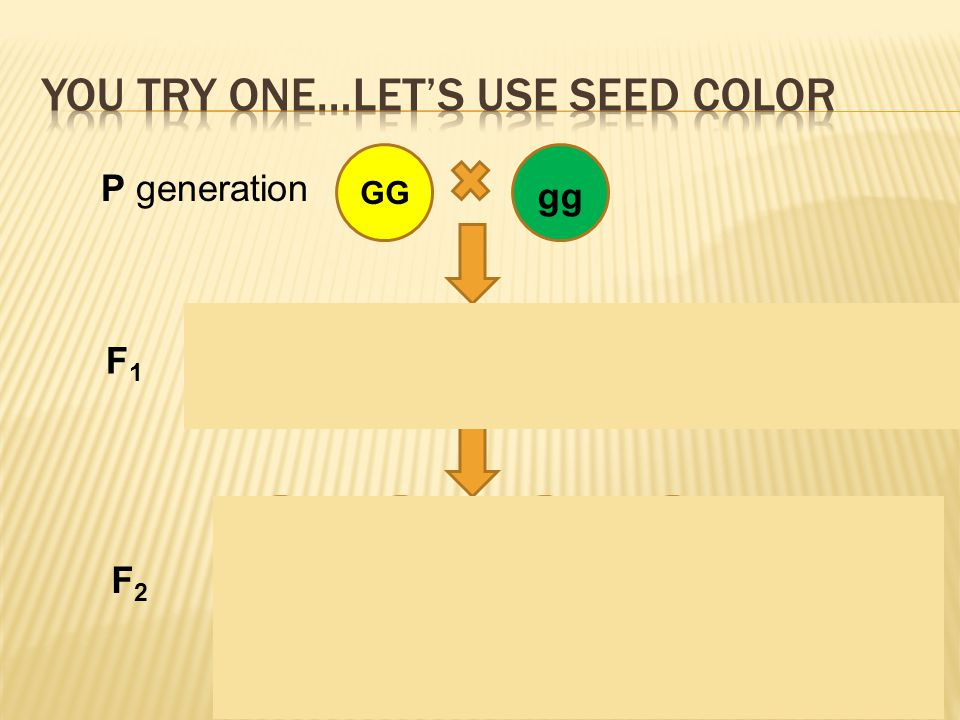 17 Gg GG gg P generation F1F1 GG Gg gg F2F2 All Gg, yellow ¾ yellow ¼ GG, 2/4 Gg ¼ green ¼ gg
