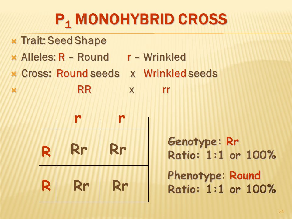 P 1 MONOHYBRID CROSS  Trait: Seed Shape  Alleles: R – Roundr – Wrinkled  Cross: Round seeds x Wrinkled seeds  RR x rr 24 R R rr Rr Genotype:Rr Ratio: 1:1 or 100% Genotype: Rr Ratio: 1:1 or 100% PhenotypeRound Ratio: 1:1 or 100% Phenotype: Round Ratio: 1:1 or 100%