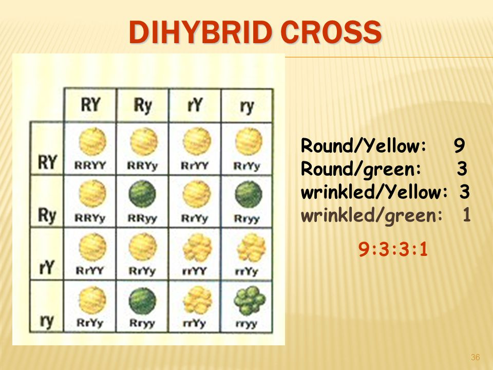 DIHYBRID CROSS 36 Round/Yellow: 9 Round/green: 3 wrinkled/Yellow: 3 wrinkled/green: 1 9:3:3:1