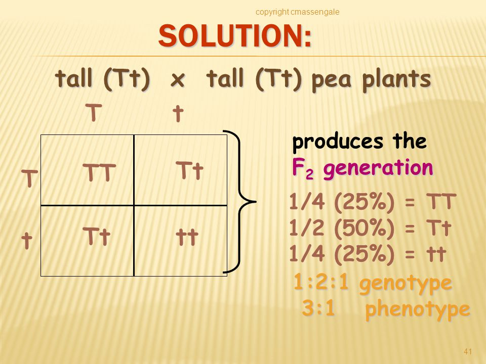 SOLUTION: copyright cmassengale 41 TT Tt tt T t Tt produces the F 2 generation 1/4 (25%) = TT 1/2 (50%) = Tt 1/4 (25%) = tt 1:2:1 genotype 3:1 phenotype 3:1 phenotype tall (Tt) x tall (Tt) pea plants