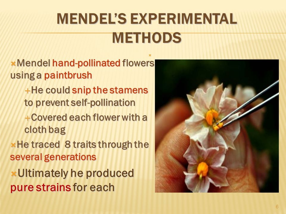 MENDEL'S EXPERIMENTAL METHODS  Mendel hand-pollinated flowers using a paintbrush  He could snip the stamens to prevent self-pollination  Covered each flower with a cloth bag  He traced 8 traits through the several generations  Ultimately he produced pure strains for each  6