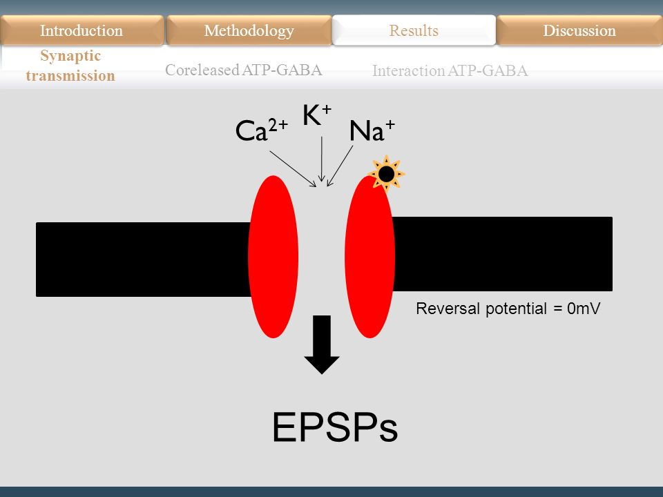 Introduction Méthodologie Modèle Données actuelles Résultats Discussion Résumé Introduction Methodology Synaptic transmission Results Discussion EPSPs Ca 2+ Na + K+K+ Reversal potential = 0mV Coreleased ATP-GABA Interaction ATP-GABA