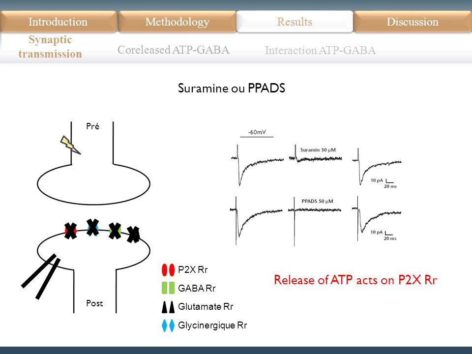 P2X Rr GABA Rr Glutamate Rr Glycinergique Rr Pré Post Introduction Méthodologie Modèle Données actuelles Résultats Discussion Résumé Introduction Methodology Synaptic transmission Results Discussion Suramine ou PPADS Coreleased ATP-GABA -60mV Interaction ATP-GABA Release of ATP acts on P2X Rr