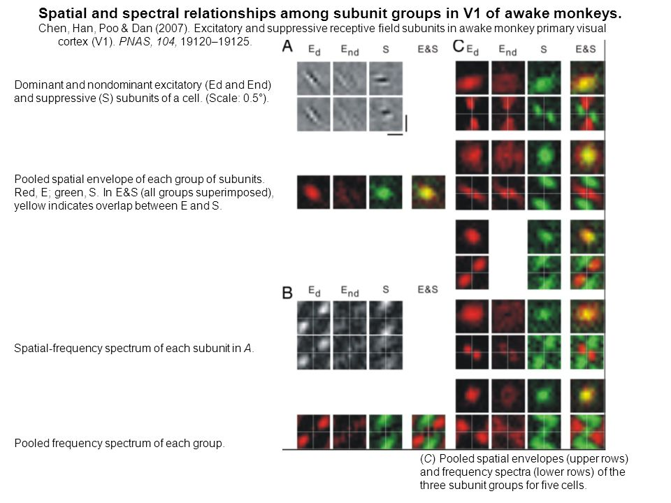 Spatial and spectral relationships among subunit groups in V1 of awake monkeys.