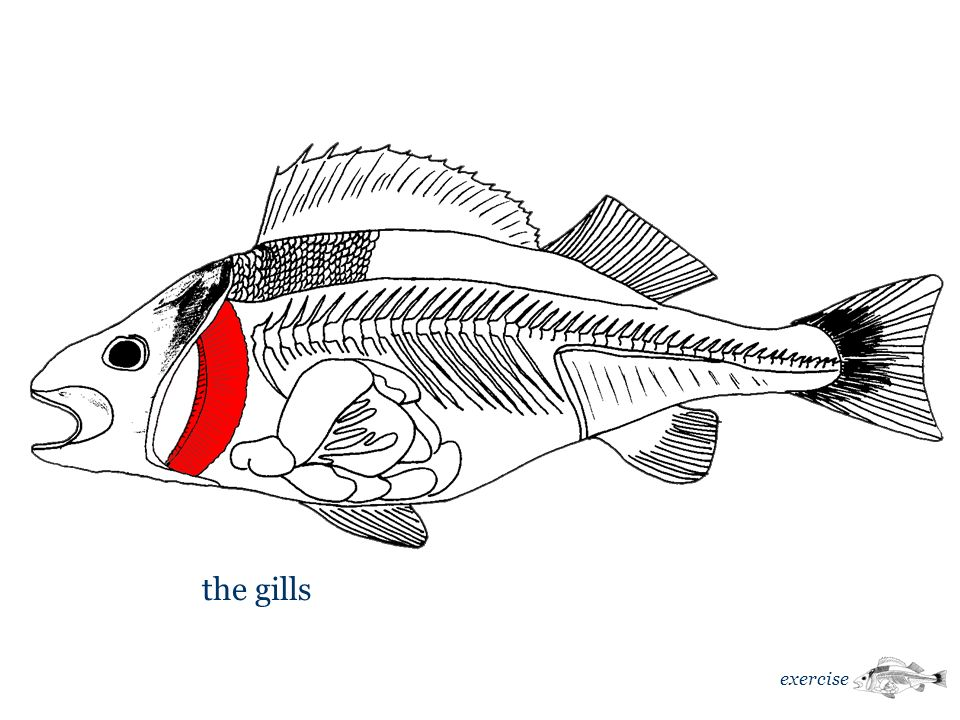 the gills exercise