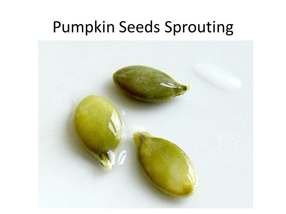 Pumpkin Seeds Sprouting