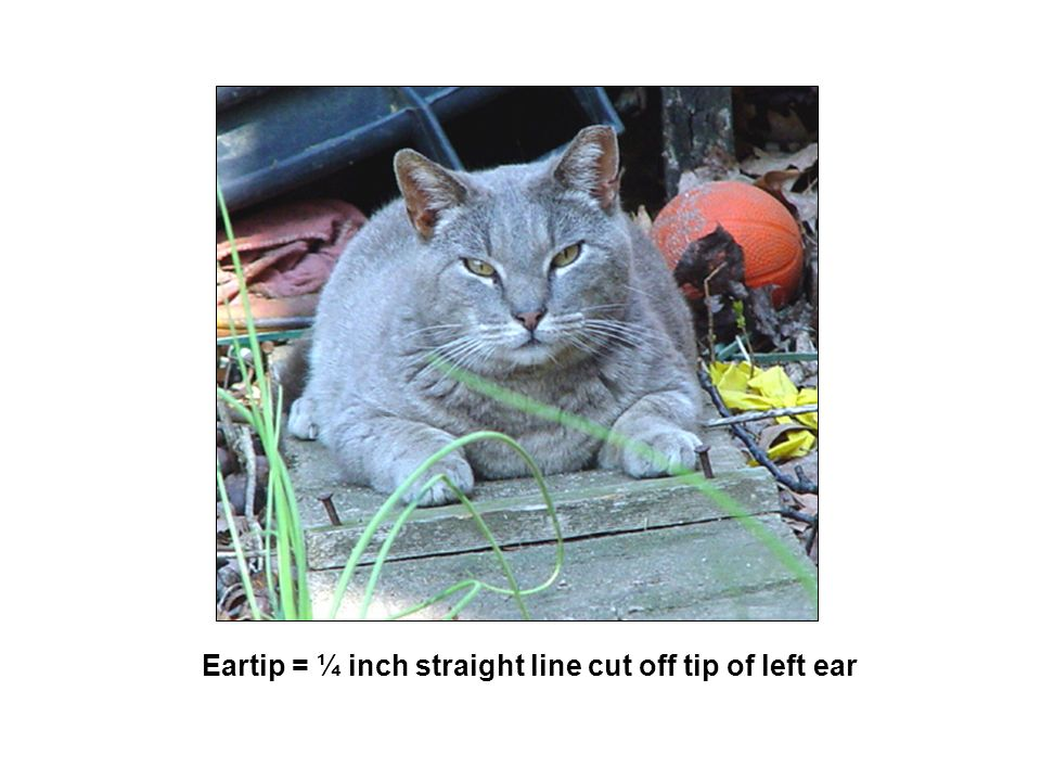 Eartip = ¼ inch straight line cut off tip of left ear
