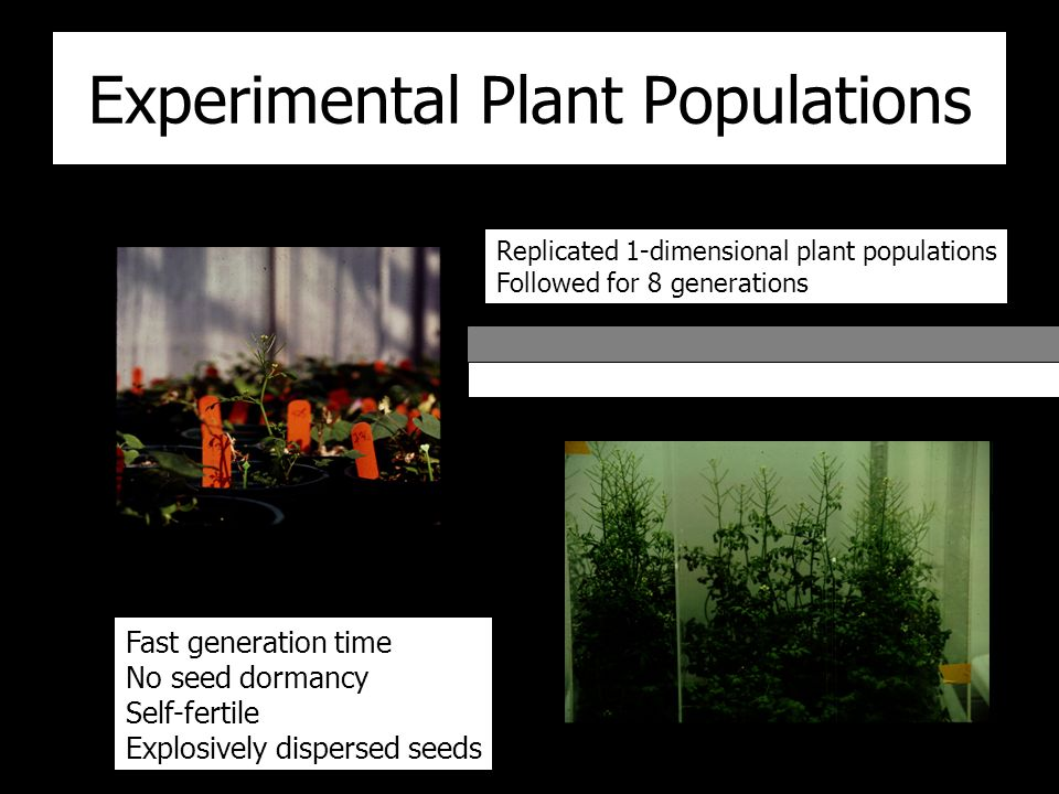 Experimental Plant Populations Fast generation time No seed dormancy Self-fertile Explosively dispersed seeds Replicated 1-dimensional plant populations Followed for 8 generations