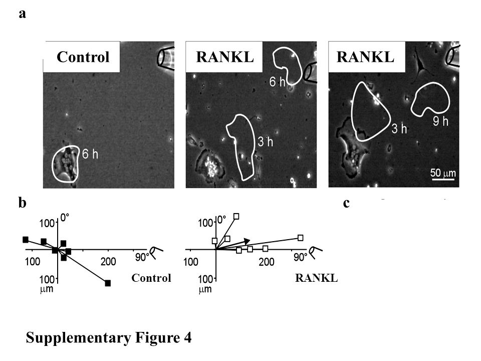 a bc Migration toward the tip, mm -40 0 40 80 120 160 Control RANKL OPG * Supplementary Figure 4 ControlRANKL ControlRANKL