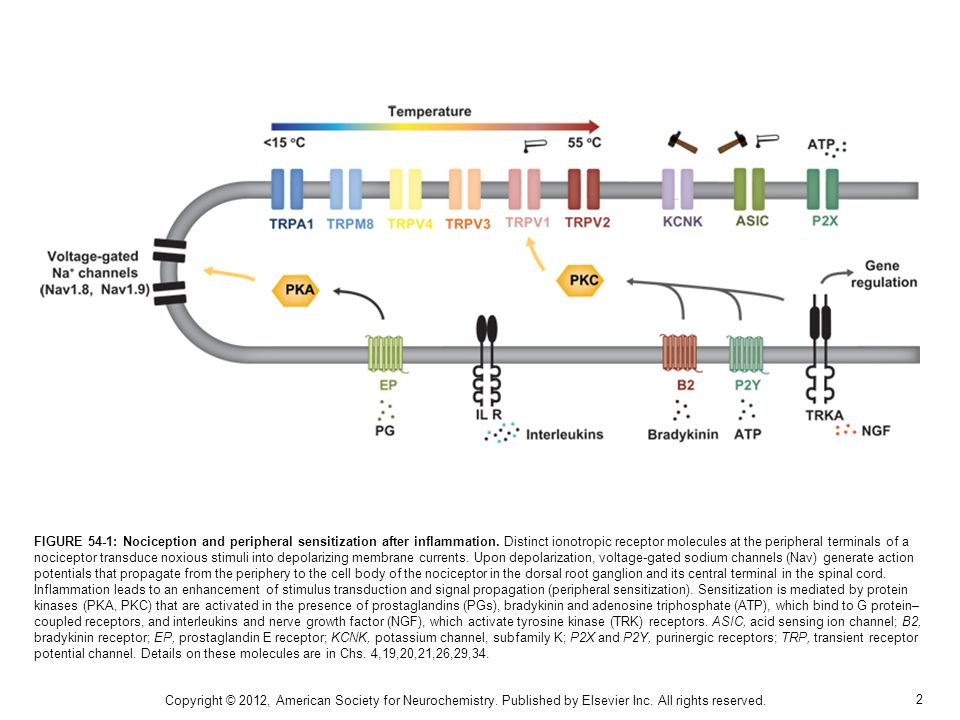 2 FIGURE 54-1: Nociception and peripheral sensitization after inflammation.