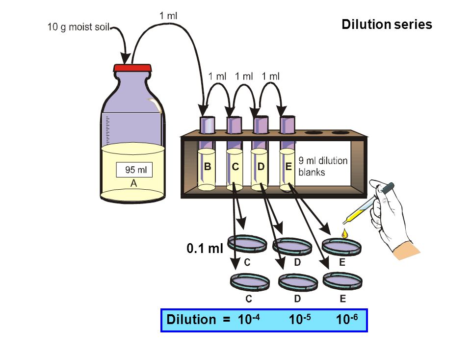Dilution series 0.1 ml Dilution = 10 -4 10 -5 10 -6