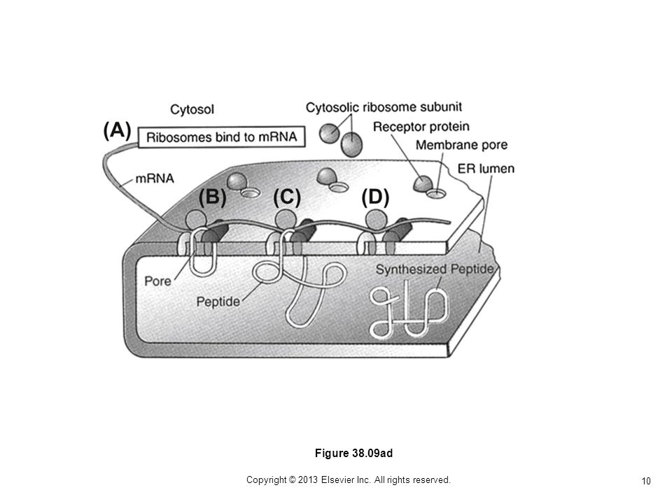 10 Copyright © 2013 Elsevier Inc. All rights reserved. Figure 38.09ad