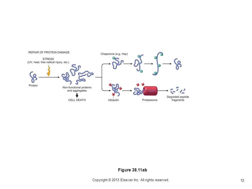 12 Copyright © 2013 Elsevier Inc. All rights reserved. Figure 38.11ab