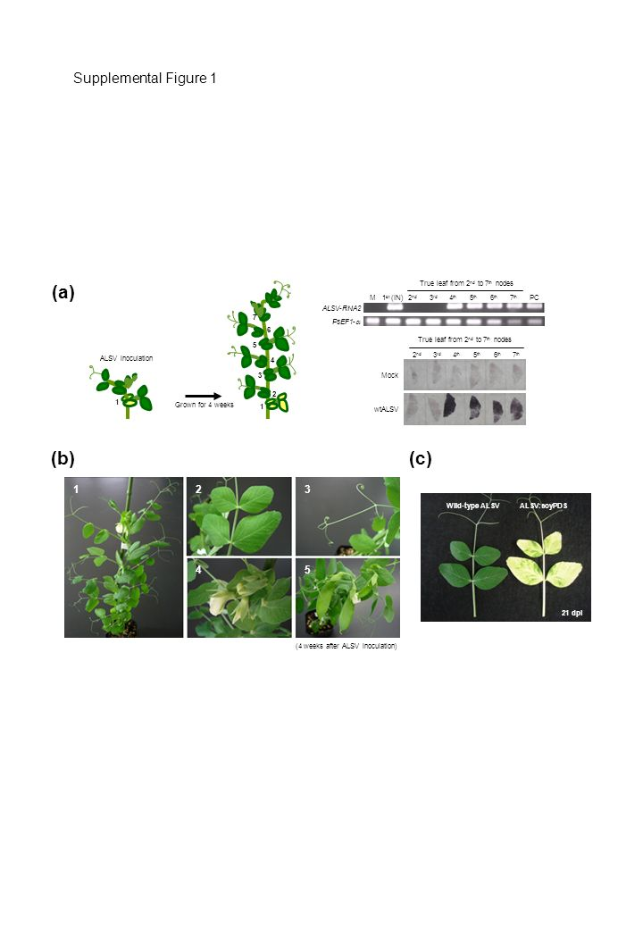 Supplemental Figure 1 (a) ALSV:soyPDSWild-type ALSV 21 dpi (4 weeks after ALSV inoculation) 123 45 (b) (c) 1 st (IN) IN 2 nd 3 rd 4 th 5 th 6 th 7 th PCM ALSV-RNA2 PsEF1- True leaf from 2 nd to 7 th nodes Mock wtALSV 2 nd 3 rd 4 th 5 th 6 th 7 th True leaf from 2 nd to 7 th nodes 2 1 3 4 5 6 7 1 Grown for 4 weeks ALSV inoculation