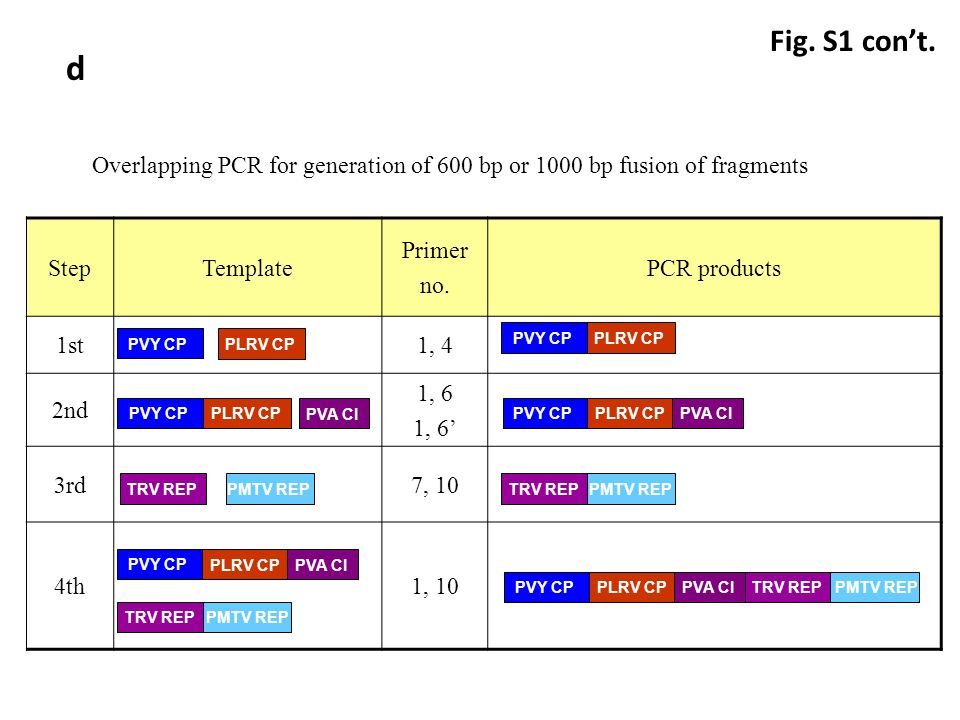 PVY CPPLRV CP PVY CP PLRV CP Overlapping PCR for generation of 600 bp or 1000 bp fusion of fragments StepTemplate Primer no.
