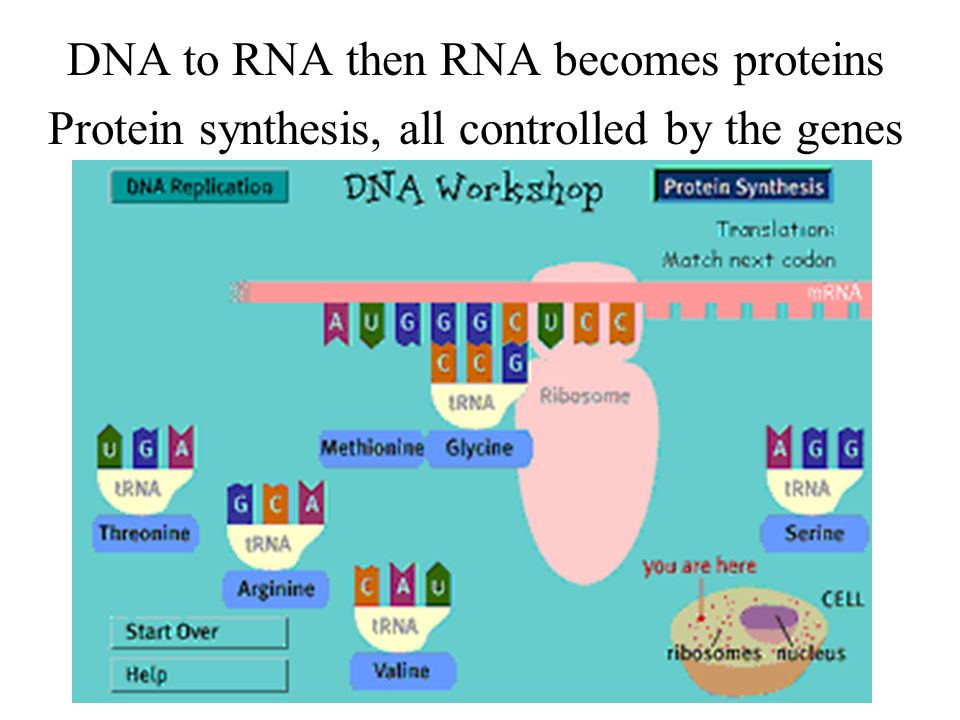 The cells alive, it will survive Transcription and translation are how proteins are synthesized