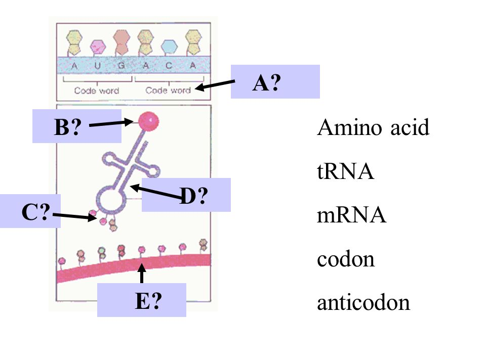 RNA--> protein is called.. A.Replication B.Transcription C.Translation D.Protein synthesis