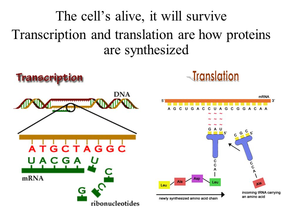 Transcription Translation Replication or protein synthesis